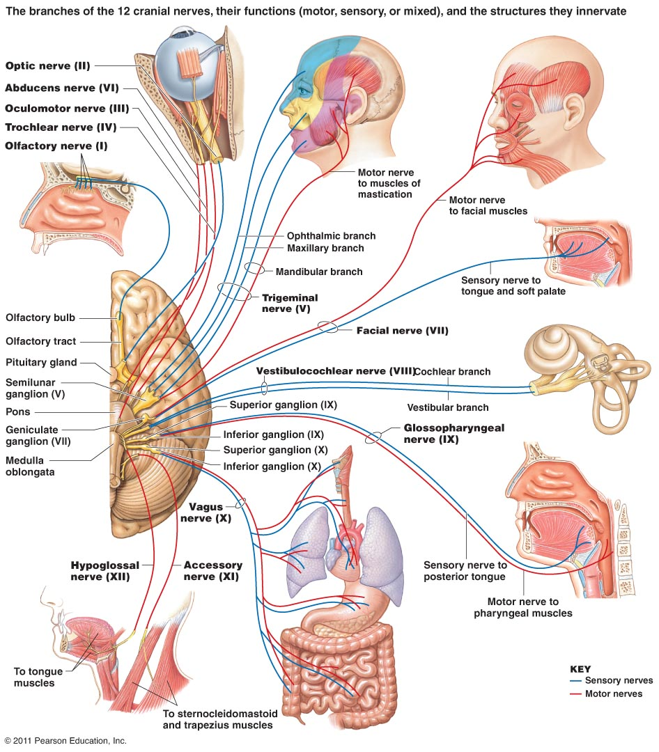 Nervous system brain anatomy en n n function human anatomy the function of the cranial nervous system is where all the nerves that connect the brian to the eyes ears mouth and other parts of the head ccuart Gallery