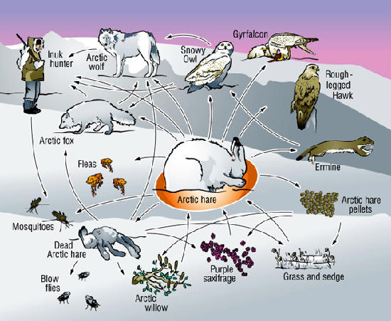 in size area the arctic tundra ranges from about 300 to 11 000 feet in elevation