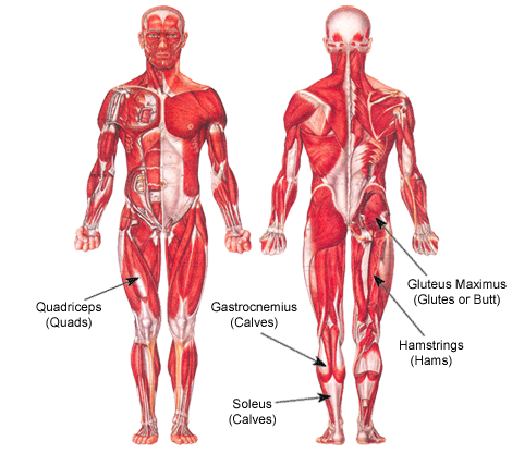 Muscles: body, eng, heart, human, muscles | Glogster EDU ...