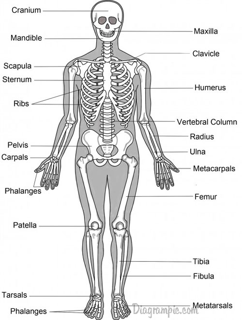 The Skeletal System Anatomy Bones En Fracture Human Joint